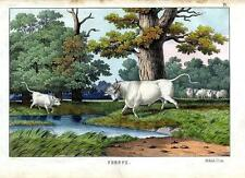1860 Instructive Picture Book HC LITHOGRAPH wild cattle of Hamilton/Chillingham