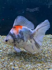 Large High Quality Broadtail Ryukin 13cm Fancy Goldfish Live Fish