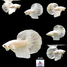 Live Betta Fish JN293 White Platinum HM Premium Grade from Thailand