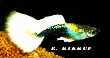 Breeding Pair Peaceful Live Aquarium Fishes