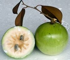 10 seeds Chrysophyllum cainito, caimito, star apple color green Thai herb fruit