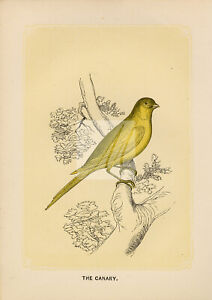 ANTIQUE Woodblock Natural History Print - The Canary #E773