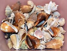 Lot 4 lb. Conch Clam Cone Seashells Nautical Ocean Beach Décor Decorative #10