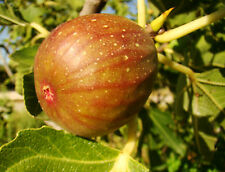 Fig Plant, FICUS CARICA Signora, pink-violet, GROW YOUR OWN FIG, 20cm, 9cm pot