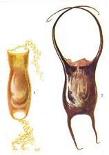FISH. Egg- Case of Dog-  (Scyllium canicula) ; - Skate (Raia naevus)  1936