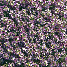 Flower - Alyssum - Rosie O'Day - 500 Seeds
