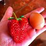 500 PCS Seeds Giant Japanese Large Strawberry Bonsai Red Fruit Plants Garden NEW