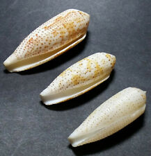 3 Conus nussatella, interesting range of colors