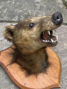 Circa 1900 Taxidermy Mounter Badger Head On Oak Shield - Sporting Trophies