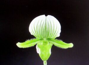 """Paph. Spring Starlight  2 growths   4"""" pot  Newly Repotted"""