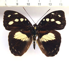butterflies, Aterica galene Männchen ex Elfenbeinküste, Cote d`Ivoire n355