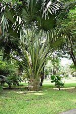 die wunderschöne Fächerpalme nimmt eine Spitzenstellung unter den Palmen ein !