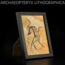 Archaeopteryx Fossil Dinosaur Animal Model Toy Collector Home Decor Photo Frame