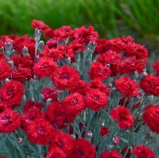 """sun Maraschino red sweet dianthus pinks carnation 2.5"""" pot ☆1 Live Potted Plant☆"""