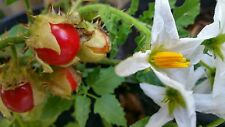 Sought After! Rare*Litchi Tomato seeds of 40+ with/FREE SHIPPING! Included