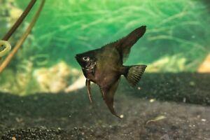 12 BlackAngels  (dime  size ) DOUBLE BLACK (12 fish)