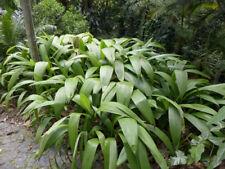 Curculigo syn molineria capitulata PALM GRASS Seeds!