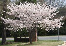 Yoshino Flowering Cherry Blossom Tree