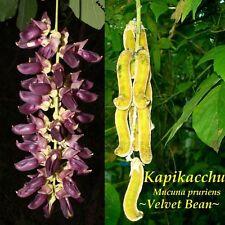 Velvet Bean LIVE 5 VINE SEEDS - Rare - Exotic - Free Postage - Aussie Seller -