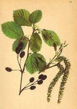 ALPENFLORA ALPINE FLOWERS: Alnus Viridis (Vill. ) DC-Grünerle; old print 1897
