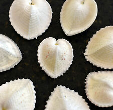 "12 Beautiful White True Heart Cockle Shells (1"" - 1 1/2"") Beach Wedding Crafts."