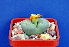 Lithops terricolor 'speckled gold'seeds 20 pcs