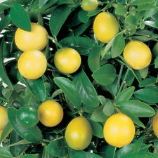 Lemon Tree 9cm Pot x 1 | Citrus × limon Meyer (F) | Dwarf lemon | Fruit bush