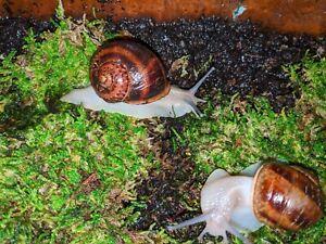 Live Garden Snail X-Large Cornu Aspersum Adult - XL Helix Aspersas