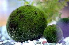 Giant Marimo ball - Natural Live Moss Aquarium Plant
