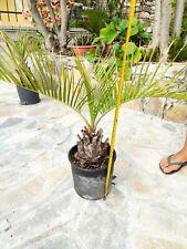Butia Capitata Palma blu argentata Jelly palm  resistente freddo BRASILE