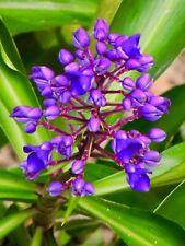 4 X GINGER BLUE - Ornamental Dichorisandra Thyrsiflora - 40cm Plants with Roots