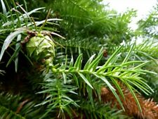 50 Graines  Araucaria de Chine, Cunninghamia lanceolata seeds