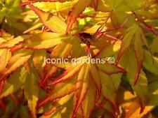 Rare Japanese maple cultivar 2yr 'Ueno Homare'