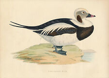 1870 Rev. F O Morris History of British Birds Long-tailed duck wood engraving