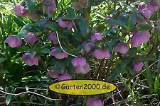 Nieswurz, Helleborus orientalis