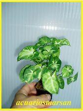 Planta de acuario , estanque, paludario. Syngonium white butterfly