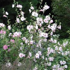 "Mallow Bredon Springs Plant in 3.5/"" Pot Lavatera x clementii Bredon Springs"