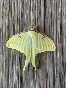 Male Actias Luna Moth Unmounted Open Wings