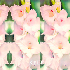 Flowers Pink Gladiolus Bulbs Plants Sword Orchid Bonsai Garden New 200 Pcs Seeds