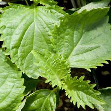 Perilla 'Green Shiso' 60 seeds Culinary herb garden Asian vegetable
