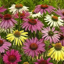 100Pcs Echinacea Flower Seeds Ordinary 4 Kind Color Pereninal Bonsai Field
