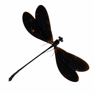 Damselfly (Vestalis luctuosa) (M) Specimen Indonesia Dragonfly Insect