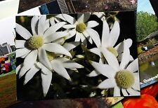 Flannel Flower- Australian Native Postcard x10