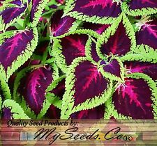 (1000) Coleus blumei Rainbow Mix Flower Seeds - BRIGHT LIVELY COLORS - Comb. S&H