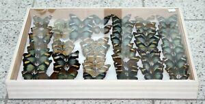 60 Schmetterlinge im Doublettenkasten 52 x 39 cm
