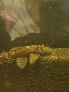 Breeding Pair Of Chocolate Bushynose Plecos