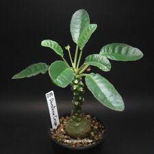 D38. Dorstenia Crispa /succulent plants cactus astrophytum euphorbia mammillaria