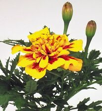 Studentenblume Tagetes Hero Bee einjährig Höhe 25 cm Samen