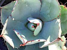 "Agave Parryi Var. Truncata (Artichoke Agave), 5 Gallon Pot, 8""+ diameter"