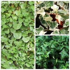 100 Ivy Flower Seeds Hedera Rare 9 Kinds Evergreen Perennial Home Garden Plants